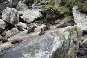 NZ fur seals